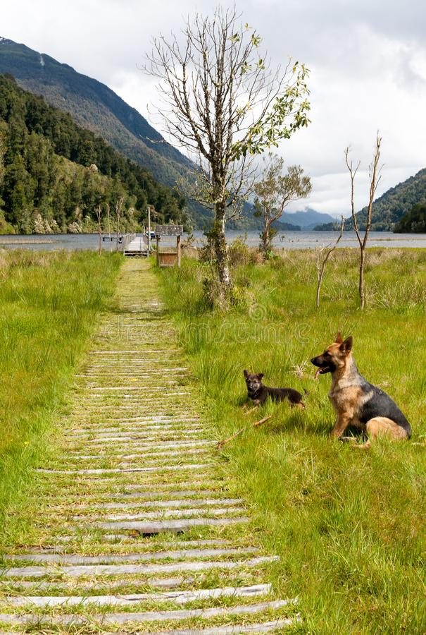 German shepherd with puppy close to a Patagonian lake royalty free stock images