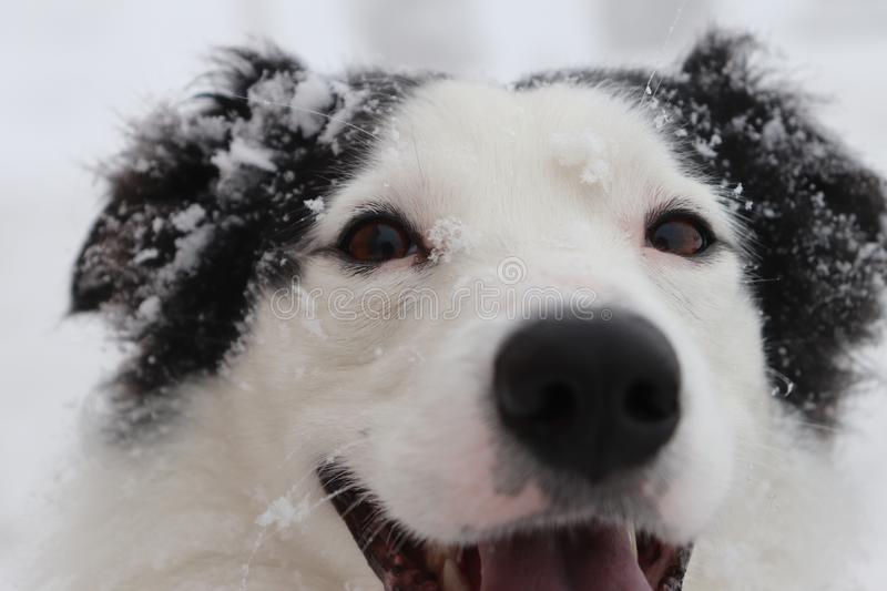 Dogs Eyes, snowy border collie stock image