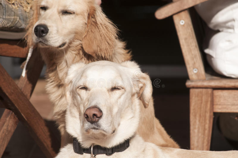 Dogs on fall sun lit porch royalty free stock image