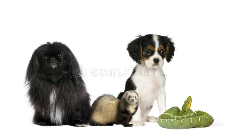 Download Dogs, Ferret, And Green Snake In Front Background Stock Image - Image: 11785507