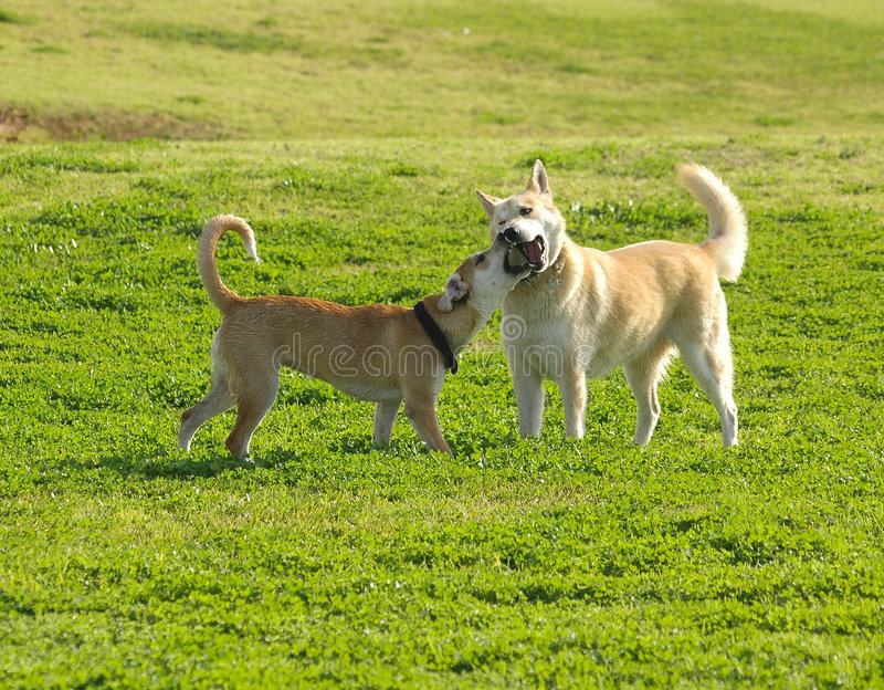 Download Dogs fight stock image. Image of bite, brown, bark, green - 464751