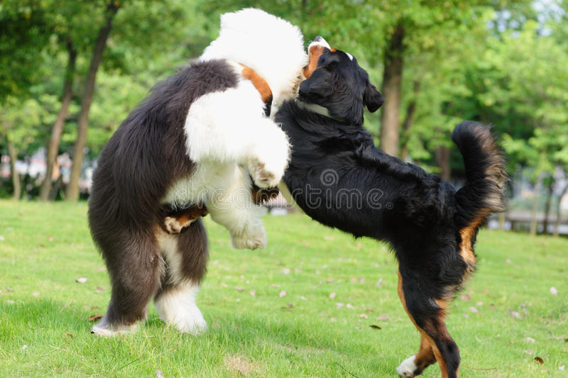 Dogs fighting royalty free stock photo