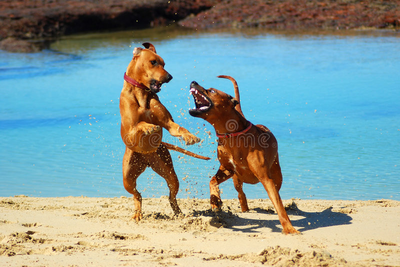 Dogs fighting at beach stock photography