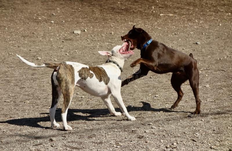 Dog fight. Dogs fighting, canine aggression.  A brown dog and a white dog with brown spots, mouths wide open, teeth exposed stock images