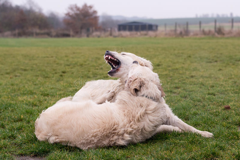 Download Dogs fighting stock image. Image of animal, daytime, green - 81825797