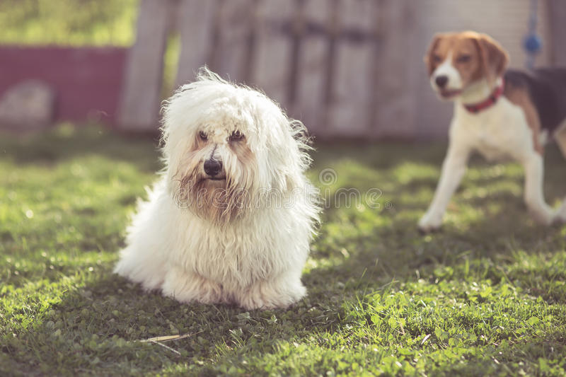 Dogs in Garden. Coton de tulear dog stock photos