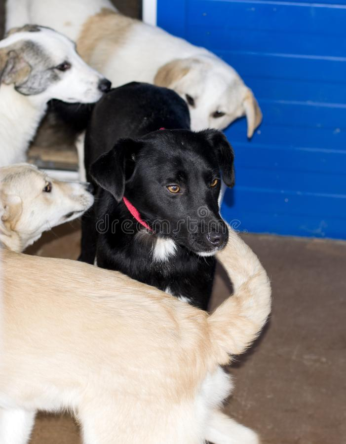 Dogs get acquainted with the black dog in the shelter. Animal shelter, dog rescue, volunteer work stock photo