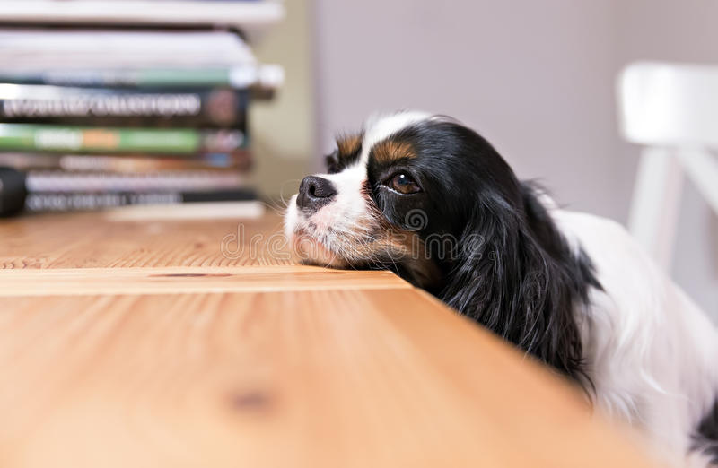 Dogs head on the table. Cute dog lays his head on the table royalty free stock photos