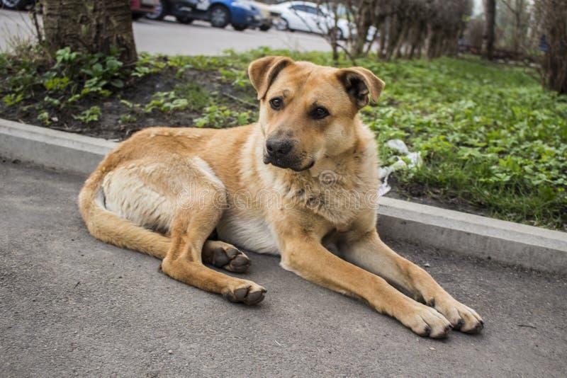 dogs hemlös husdjur Hundkapplöpningen går på gatan Hunden har förlorat dess ägare arkivbild