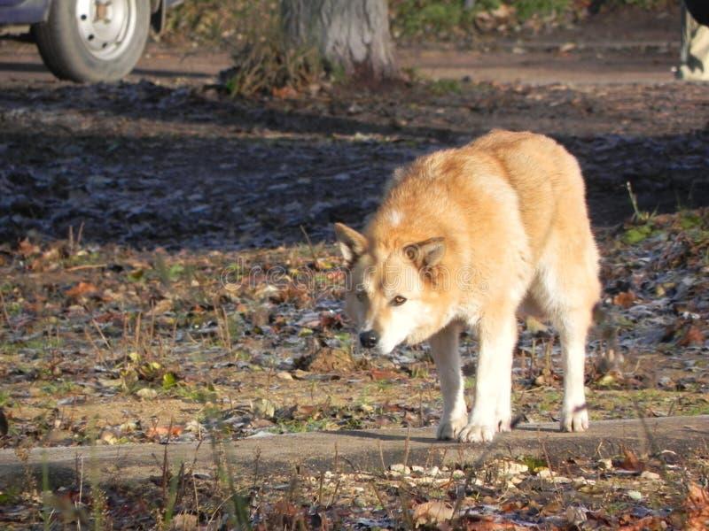 dogs hemlös husdjur Hundkapplöpningen går på gatan Hunden har förlorat dess ägare royaltyfria foton