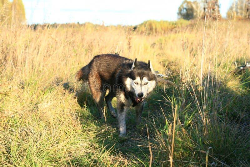 dogs hemlös husdjur Hundkapplöpningen går på gatan Hunden har förlorat dess ägare royaltyfria bilder