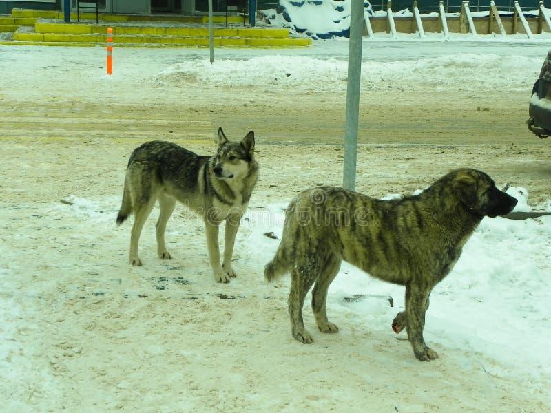 dogs hemlös husdjur Hundkapplöpningen går på gatan Hunden har förlorat dess ägare royaltyfri bild