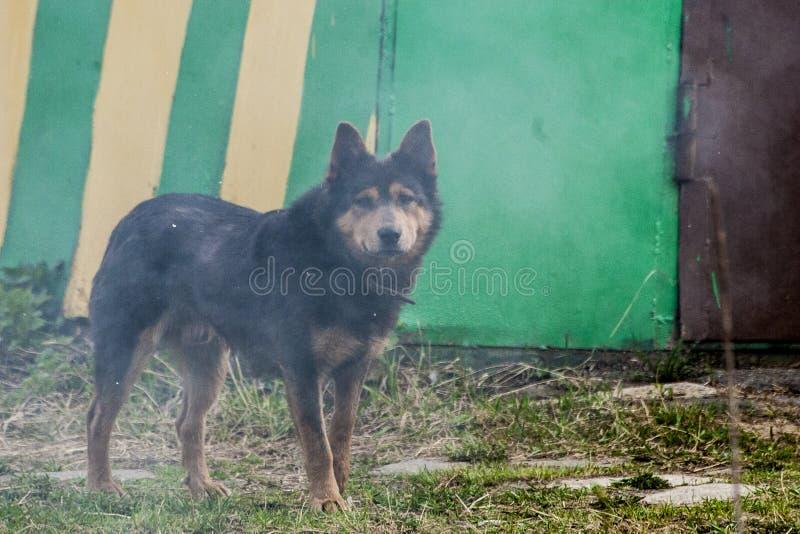 dogs hemlös husdjur Hundkapplöpningen går på gatan Hunden har förlorat dess ägare arkivfoto