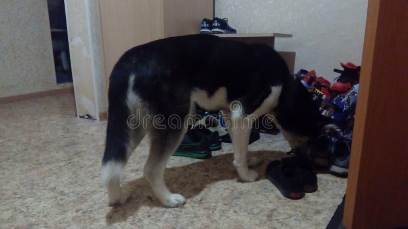 dogs hemlös husdjur Hundkapplöpningen går på gatan Hunden har förlorat dess ägare arkivbilder