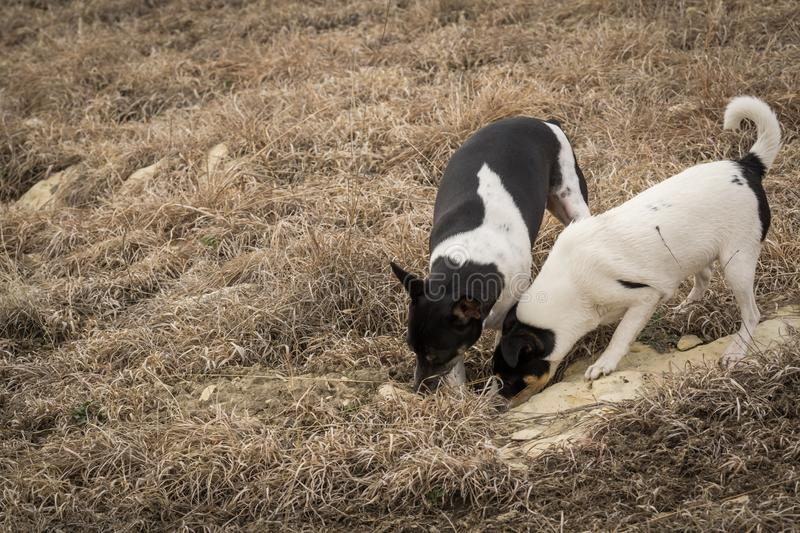 Dogs hunting and digging. Two Rat Terrier dogs hunt outside by digging a hole in a field stock photo