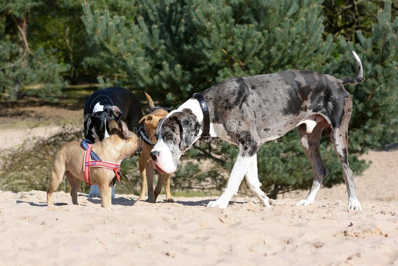 Dogs like merle colored Great Dane and small fawn French Bulldog meeting up at a dog park. Several dogs like merle colored Great Dane and small fawn French stock image