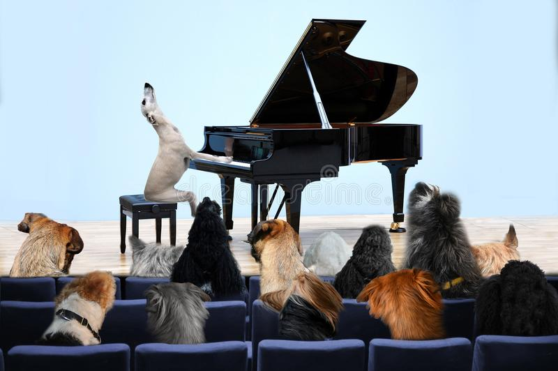 Concert hall, dogs listening to a whippet pianist. Dogs listening to classical music, played on grand piano in concert hall by whippet pianist stock image