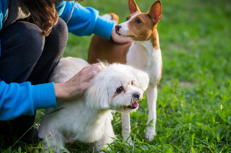Dogs with master. Two cute small dogs being handled by their master royalty free stock image