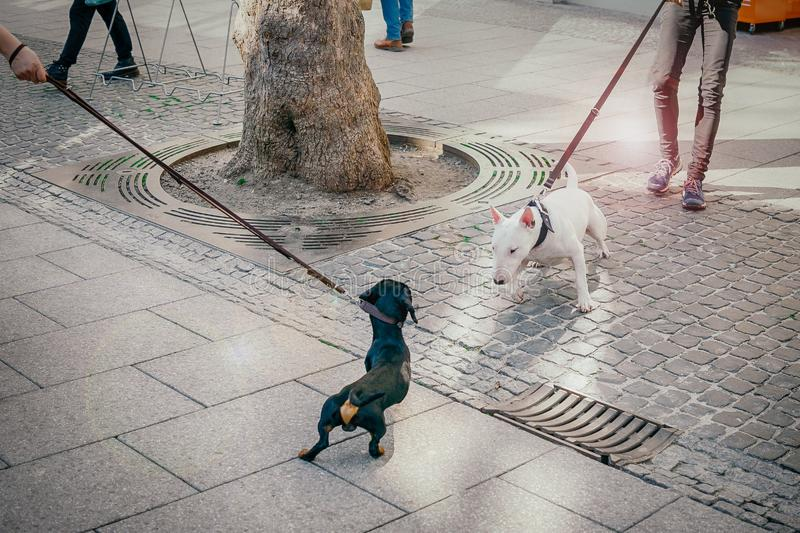 The dogs met on the street. Black dachshund and white bull terrier dog are getting acquainted royalty free stock photos