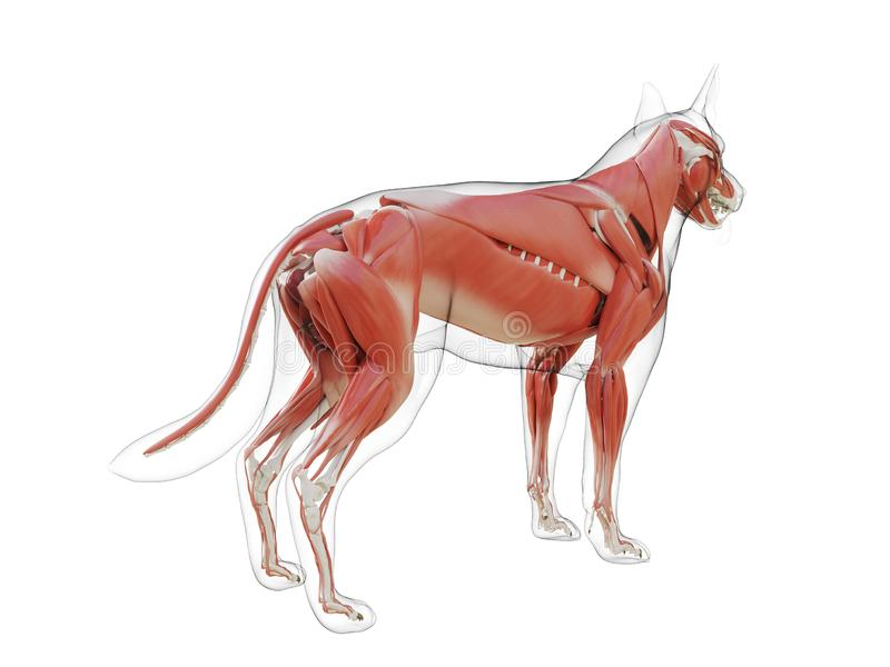 The dogs muscle system. 3d rendered medically accurate illustration of the dogs muscle system royalty free illustration