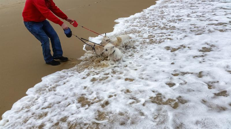 Dogs in ocean - Man - body only- holds three fluffy white dogs on short leashes and they play in the surf stock images