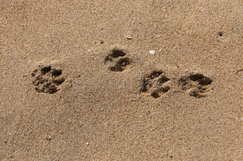 Dogs Paws In The Sand. A Close up view of four dogs paws prints in the beach sand on a sunny summers day royalty free stock photography