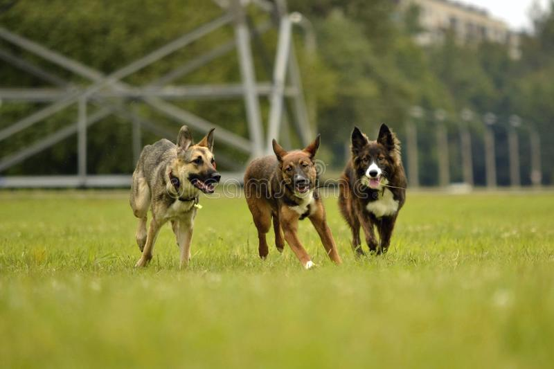 Aggressive dog. Training of dogs. Puppies education, cynology, intensive training of young dogs. Young energetic dog on a walk. Dogs play with each other. Merry stock images