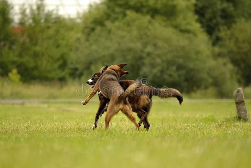 Aggressive dog. Training of dogs. Puppies education, cynology, intensive training of young dogs. Young energetic dog on a walk. Dogs play with each other. Merry royalty free stock photography