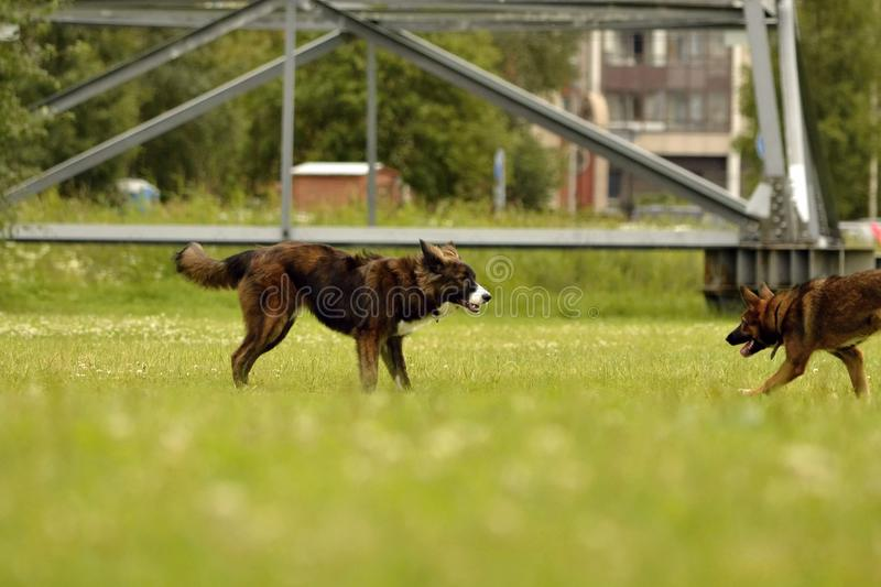 Aggressive dog. Training of dogs. Puppies education, cynology, intensive training of young dogs. Young energetic dog on a walk. Dogs play with each other. Merry stock image