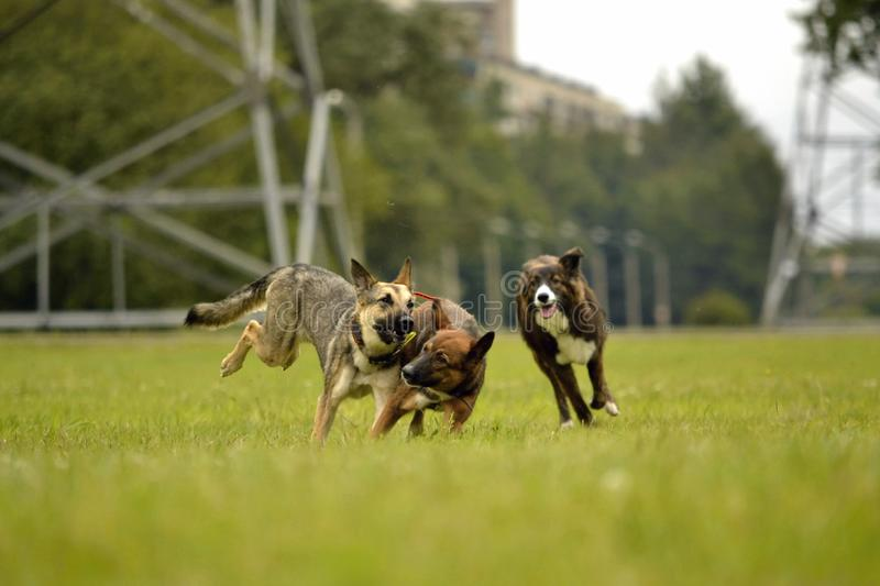 Aggressive dog. Training of dogs. Puppies education, cynology, intensive training of young dogs. Young energetic dog on a walk. Dogs play with each other. Merry stock photography