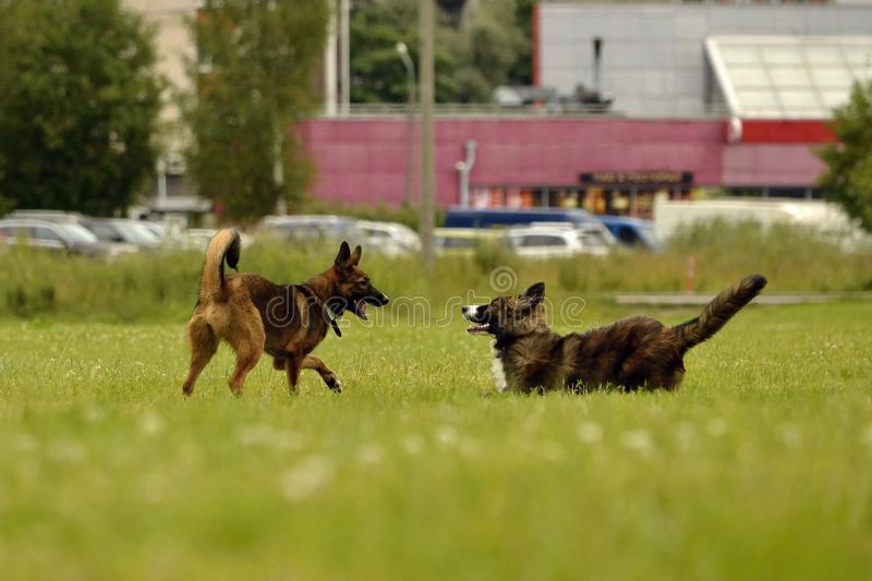 Aggressive dog. Training of dogs. Puppies education, cynology, intensive training of young dogs. Young energetic dog on a walk. Dogs play with each other. Merry stock photos