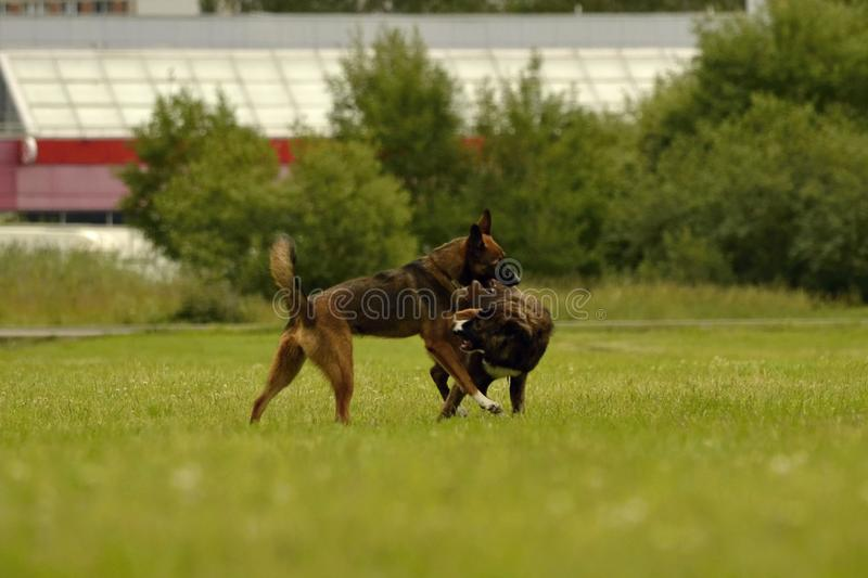 Aggressive dog. Training of dogs. Puppies education, cynology, intensive training of young dogs. Young energetic dog on a walk. Dogs play with each other. Merry stock photo