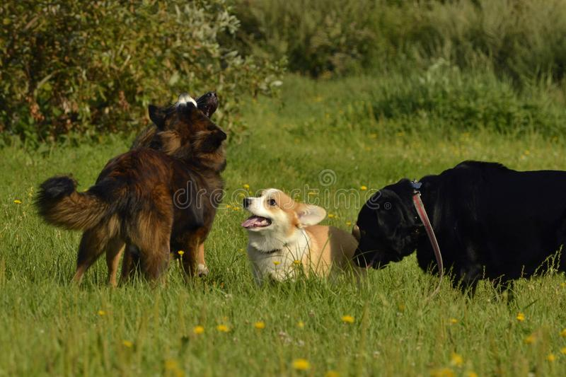 Dogs play with each other. Puppy Corgi pembroke. Merry fuss puppies. Aggressive dog. Training of dogs. Puppies education, cynolog stock photos
