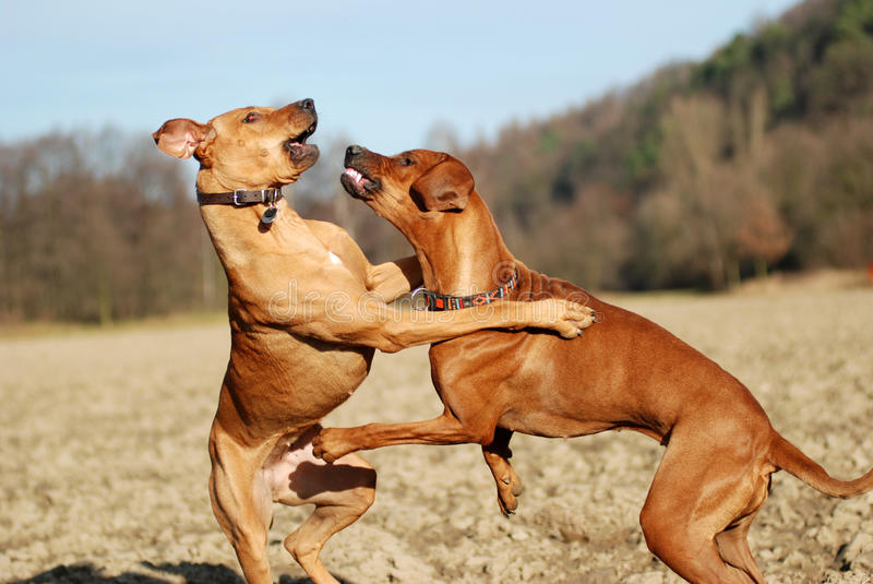 Dogs play fighting. Two young dogs playing and fighting together on a field stock photos