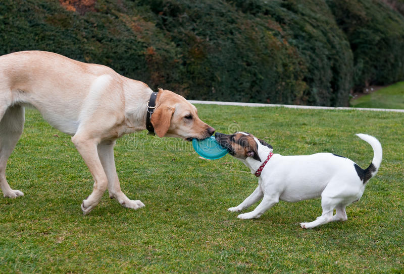Dogs play on a green grass stock photography