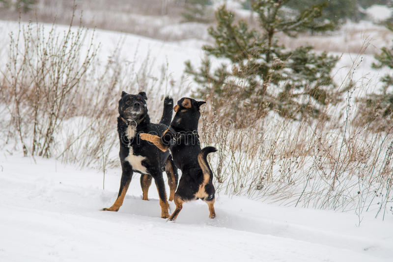 Dogs play in winter royalty free stock photos