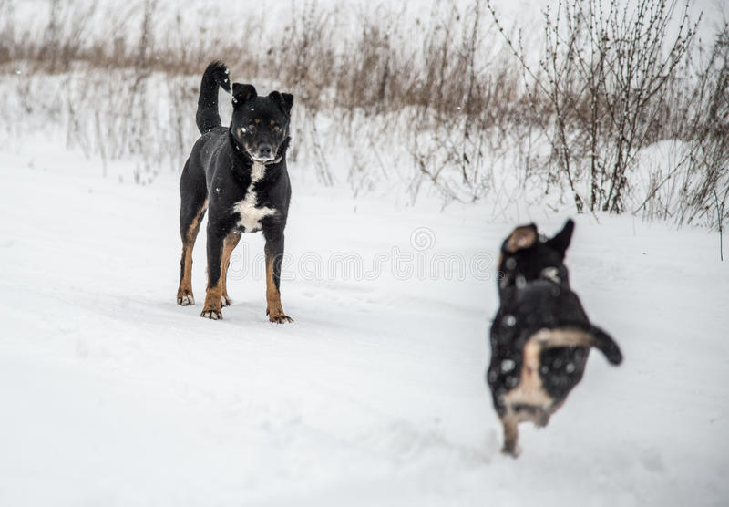 Dogs play in winter stock images