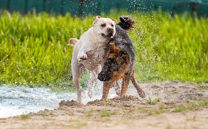 Dogs are played. On the beach royalty free stock photos