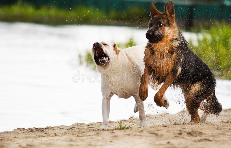 Dogs are played. On the beach royalty free stock photo