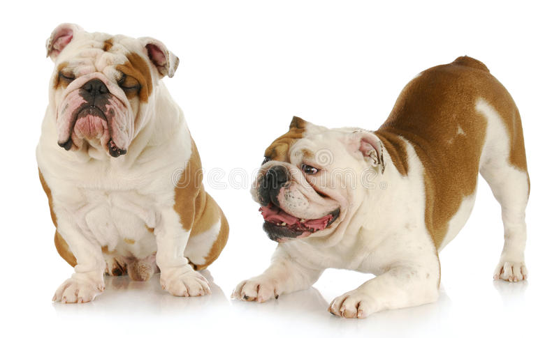 Download Dogs playing stock photo. Image of miserable, expression - 19045912