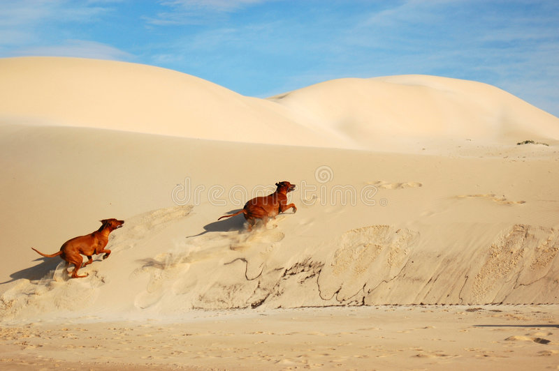 Dogs playing. Two active wild playing Rhodesian Ridgeback hound dogs running up the dunes on a beach enjoying summertime on vacation