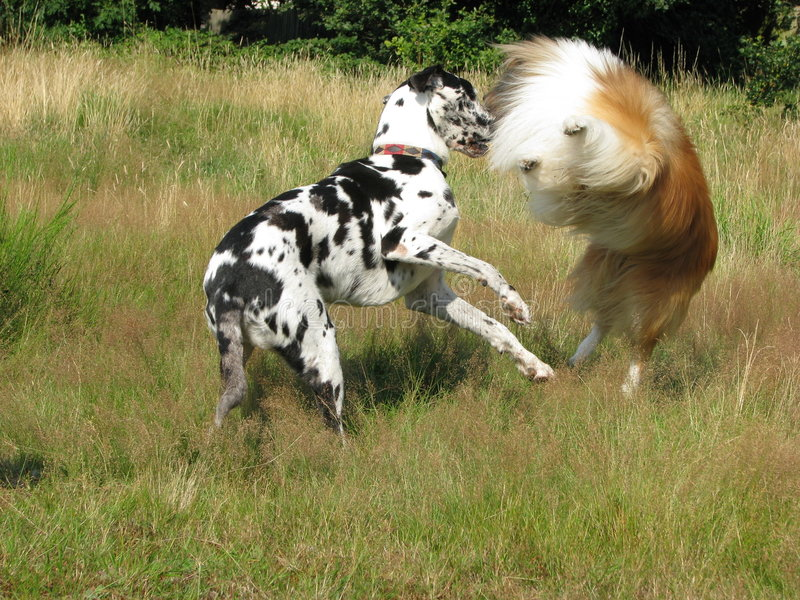 Download Dogs playing stock image. Image of green, happy, brown - 3723793