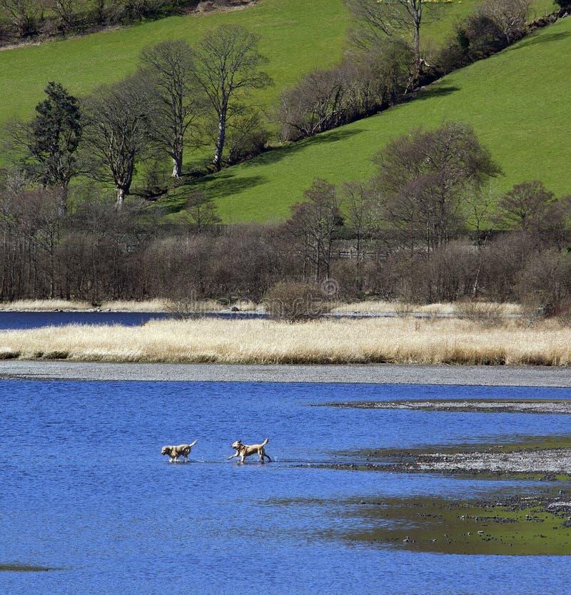 Dogs Playing - Bala Lake - Gwynedd - Wales Stock Images