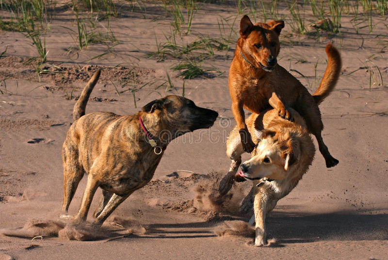 Dogs playing at the beach royalty free stock images