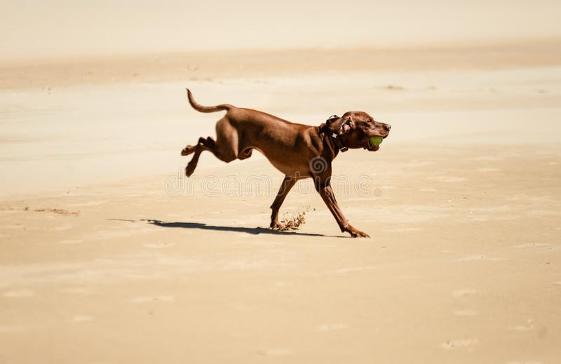 Dogs playing on the beach. Dogs on the beach. Black and brown labradors playing with ball near ocean. Dogs running along the seashore stock images