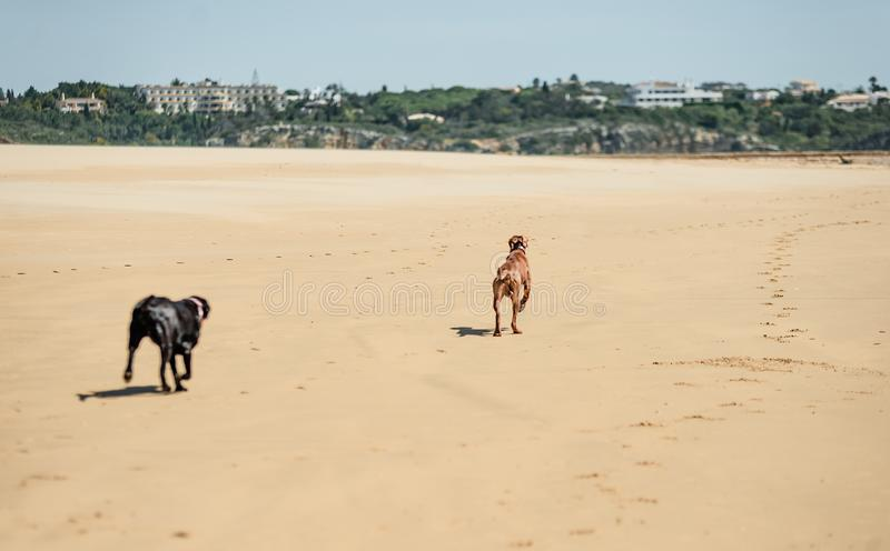 Dogs playing on the beach. Dogs on the beach. Black and brown labradors playing with ball near ocean. Dogs running along the seashore stock photo