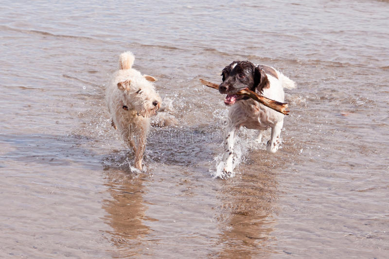 Dogs Playing on Beach with Stick stock photo
