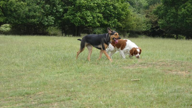 Dogs playing in the meadow on a beautiful summers day stock photo