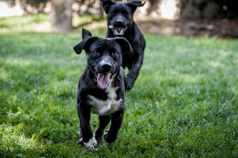 2 dogs playing stock photo