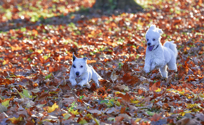 Dogs are playing royalty free stock photography